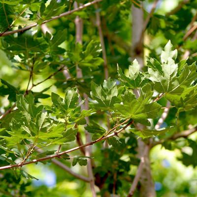Acer campestre 'Elegant'