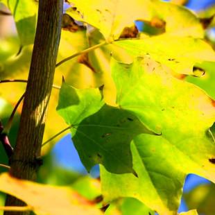 10012 - Acer cappadocicum 'Rubrum'