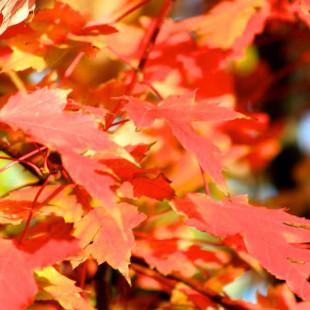 10016 - Acer x freemanii 'Autumn Blaze'