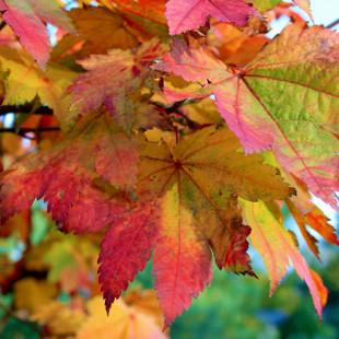 10021 - Acer japonicum 'Vitifolium'