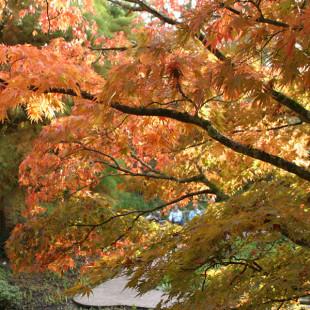10028 - Acer palmatum