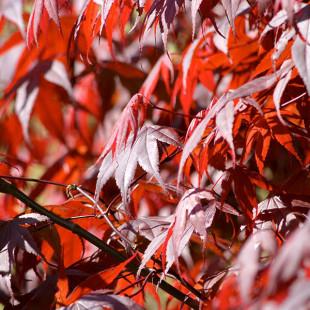 10030 - Acer palmatum 'Bloodgood'