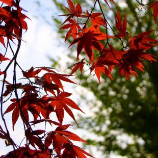 10032 - Acer palmatum 'Fireglow'