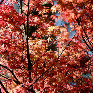 10034 - Acer palmatum 'Deshojo'