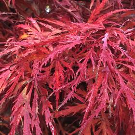 Acer palmatum 'Garnet' (D)