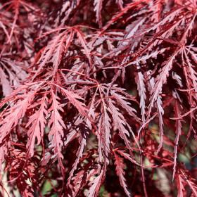 Acer palmatum 'Inaba-shidare' (D)