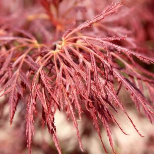 10040 - Acer palmatum 'Ornatum' (D)