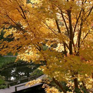 10043 - Acer palmatum 'Sango kaku'