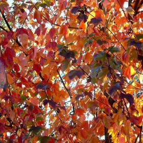 Acer rubrum 'October Glory'