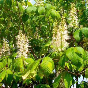 10068 - Aesculus parviflora