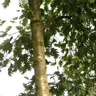 10073 - Alnus glutinosa 'Laciniata'