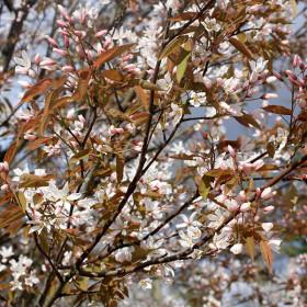 Amelanchier arborea 'Robin Hill'