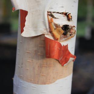 10086 - Betula albosinensis 'Fascination'