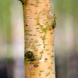 10088 - Betula ermanii