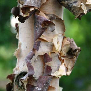 10090 - Betula nigra