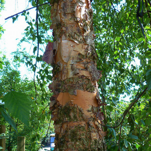 10091 - Betula nigra 'Heritage'