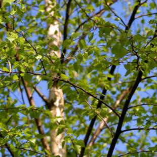 10093 - Betula pendula