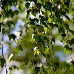 10096 - Betula pendula 'Tristis'