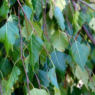 10097 - Betula pendula 'Youngii'