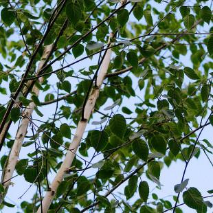 10099 - Betula utilis 'Doorenbos'