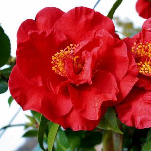 10110 - Camellia japonica 'Doctor Burnside'