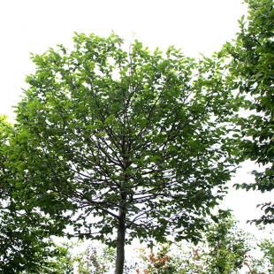 10118 - Carpinus betulus (Box Head)