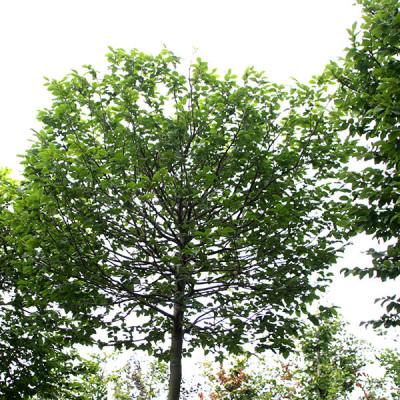 Carpinus betulus (Box Head)