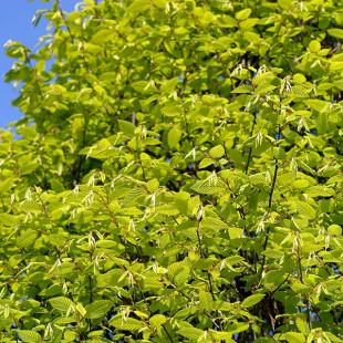 10119 - Carpinus betulus 'Fastigiata'