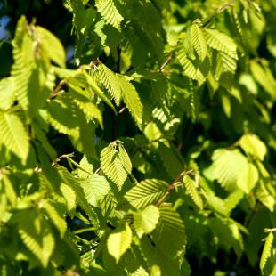 10120 - Carpinus betulus 'Frans Fontaine'