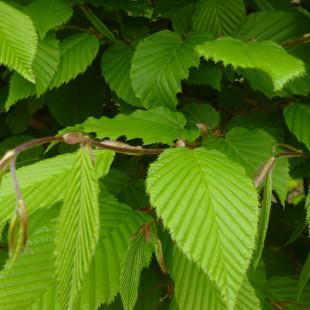 10123 - Carpinus betulus (Pleached)