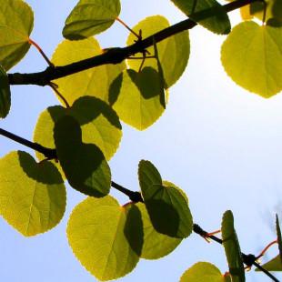 10142 - Cercidiphyllum japonicum