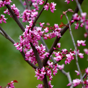 10143 - Cercis canadensis 'Forest Pansy'