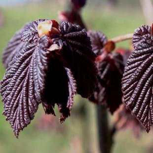 10167 - Corylus maxima 'Purpurea'