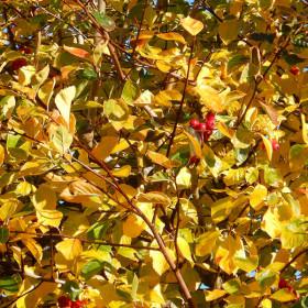 Crataegus x per. 'Prunifolia Splend