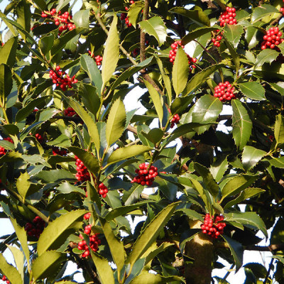 Ilex koehneana 'Chestnut Leaf'