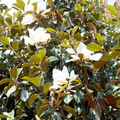 Magnolia grand. 'Goliath'