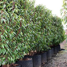 Prunus lusitanica 'Myrtifolia' (Hed