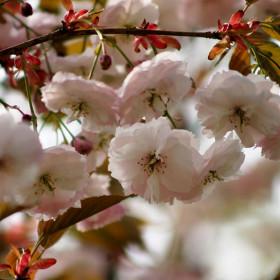 Prunus 'Shirofugen'