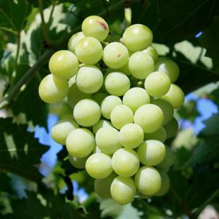 10540 - Vitis vinifera
