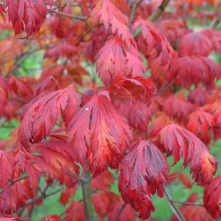 10550 - Acer japonicum 'Aconitifolium'