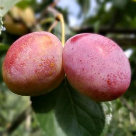Prunus domestica 'Victoria'