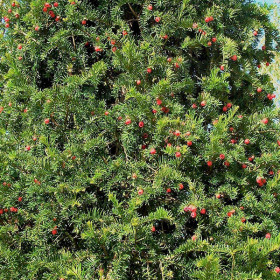 Taxus baccata (Hedging)