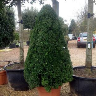 10626 - Buxus sempervirens 'Arborescens'