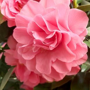 10636 - Camellia japonica