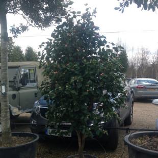 10639 - Camellia japonica 'Lavinia Maggi'