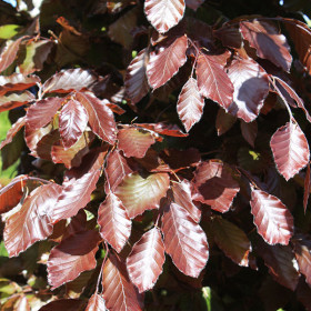 Fagus sylvatica Purpurea Group (Hed