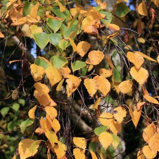 11057 - Betula erm. 'Holland' (Pleached)