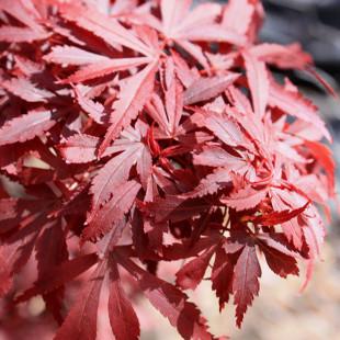 11093 - Acer palmatum 'Shaina'