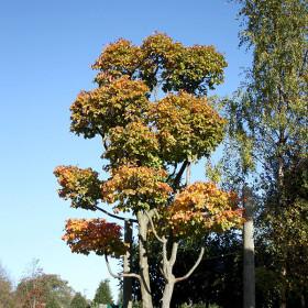 Parrotia persica (Topiary)