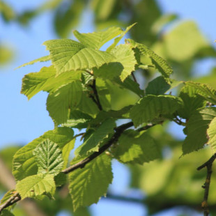 11128 - Corylus avellana 'Wunder aus Bollweiler'